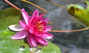 Water lily in bloom at The Lily Pad.