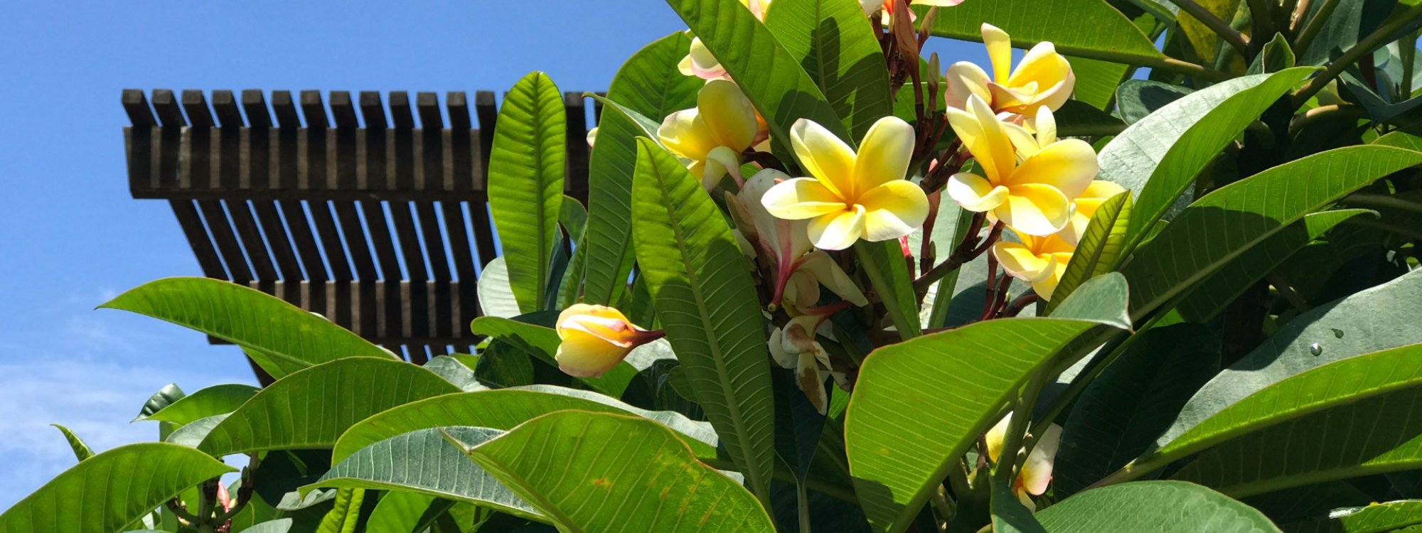 Frangipani trees provide cooling shade and spectacular colour in summertime.